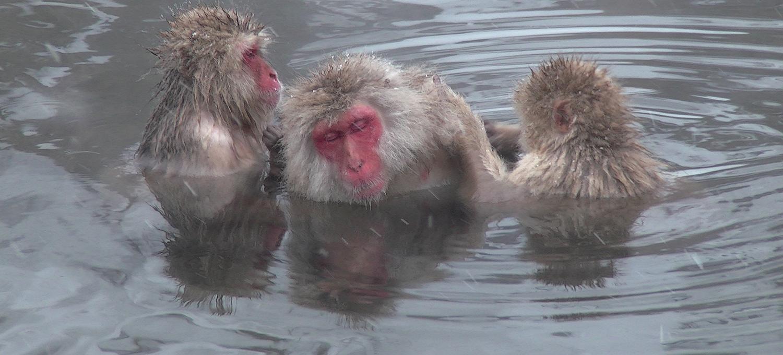 Die Schnee-Affen von Jigokudani in heiße Quelle